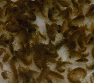 Amphipods freshwater