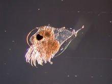 Evadne spinifera marine daphnia