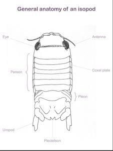 General Anatomy of Isopod